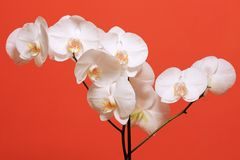 Big white orchid flowers wand Stock Image