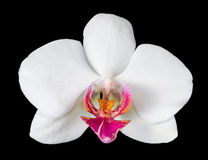 Big white orchid with purple Stock Photography