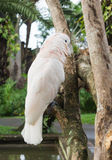 Big white parrot sitting on a tree branch Royalty Free Stock Image