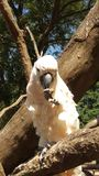 Big white parrot sitting on a tree branch Stock Image
