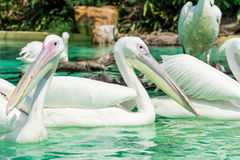 Big white pelican birds in a pond Stock Photography
