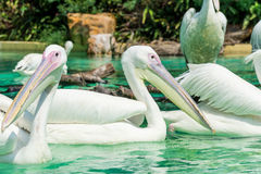 Big white pelican birds in a pond Stock Photo