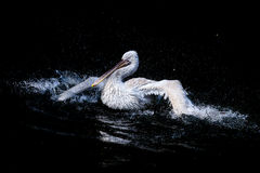 Big white pelican Royalty Free Stock Photo