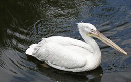 Big white pelican Royalty Free Stock Images