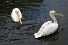 Big white pelican Stock Image