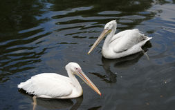 Big white pelican Stock Images