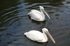Big white pelican Royalty Free Stock Photos