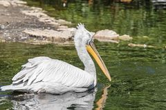 The big white pelican with a long beak Royalty Free Stock Photos