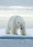 Big white polar bear, on drift ice with snow, Svalbard, Norway. Wildlife royalty free stock photo