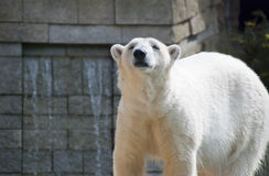 Big White Polar Bear Looking. Polar Bears are rare and endagnered because of the climate change. This is why they became a symbol of global warming Royalty Free Stock Photo