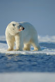 Big white polar bear, with red bloody muzzle, on drift ice with snow, blurred sky in background, Svalbard, Norway Stock Photo