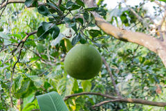 Big white Pomelo varieties. Fresh Pomelo is on the tree Stock Photo