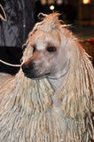 Big white poodle dog with dreadlocks Royalty Free Stock Image