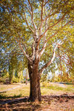 Big White Poplar in the Park Royalty Free Stock Image