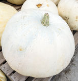 Big White Pumpkin Stock Photography