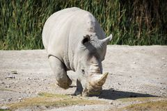 Big white rhino on the ground. Walking Royalty Free Stock Photos