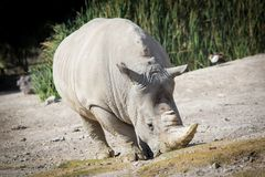 Big white rhino on the ground. Walking Royalty Free Stock Photo