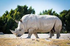 Big white rhino on the ground. Walking Royalty Free Stock Photography