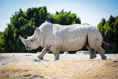Big white rhino on the ground. Walking Stock Image