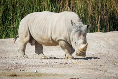 Big white rhino on the ground. Walking Royalty Free Stock Images
