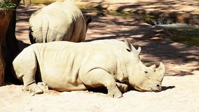 Big white rhinoceros stock footage