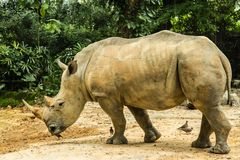 Big white rhinoceros is walking in wild. Big rhinoceros is walking in wild stock photos