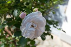 Big white rose and two pink buds in a park Royalty Free Stock Photos
