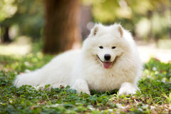 Big white samoyed dog Stock Image