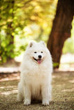 Big white samoyed dog Royalty Free Stock Photography