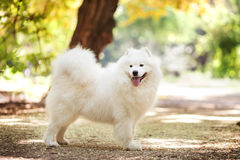Big white samoyed dog Stock Images