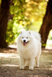 Big white samoyed dog Royalty Free Stock Image