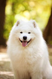 Big white samoyed dog Royalty Free Stock Photo