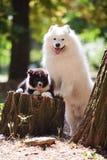 Big white samoyed dog and a puppy Stock Photos