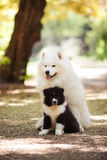 Big white samoyed dog and a puppy Royalty Free Stock Photography