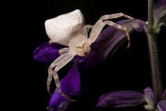 Big white scary spider Royalty Free Stock Image