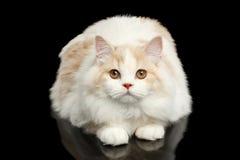 Big White Scottish Highland Straight Cat Lying Isolated on Black Stock Images