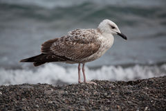 Big white seagull Royalty Free Stock Images