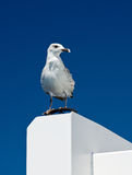 Big white seagull on blue sky background Royalty Free Stock Image