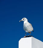 Big white seagull on blue sky background Royalty Free Stock Photography