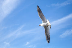 Big white seagull flying on blue cloudy sky Stock Images