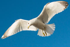 Big white seagull flying on a clear blue sky. Yellow nose and feet Royalty Free Stock Images