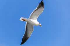 Big white seagull flying in clear blue sky. Great black-backed gull. Big white seagull flying in clear blue sky, closeup photo Stock Images