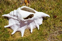 Big white seashell in grass. Old shell closeup. Tropical life. Marine detail. Big conch on coast. Tropical summer vacation concept stock images