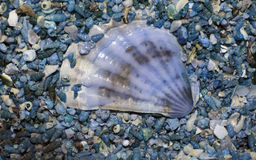 Big white shell on blue background smaller blue small shells Stock Image
