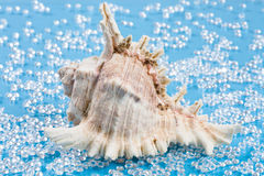 Big white shell on a fresh water like blue background Royalty Free Stock Images