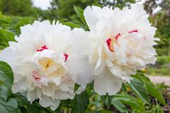 Big white sparkled paeony blossoms Stock Image