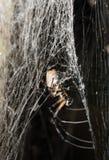 Big white spider Nephilengys livida Madagascar Stock Images