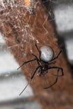 Big white spider Nephilengys livida Madagascar Royalty Free Stock Photo