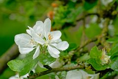 Big white spring prunus  blossom with rain drips close-up, selective focus Royalty Free Stock Photo