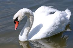 Big white swan Stock Images